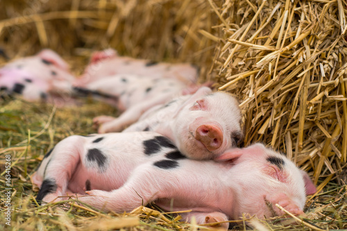 Fotomural Oxford Sandy and Black piglets sleeping