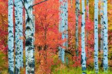 Autumn Colors In Utah Forest