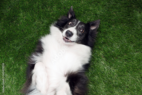 Fényképezés Happy border collie playing outside on the grass