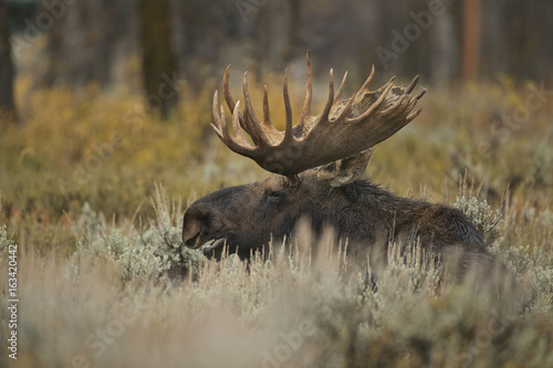 Photo  Moose (Alces alces) Grand Teton NP, Wyoming, USA