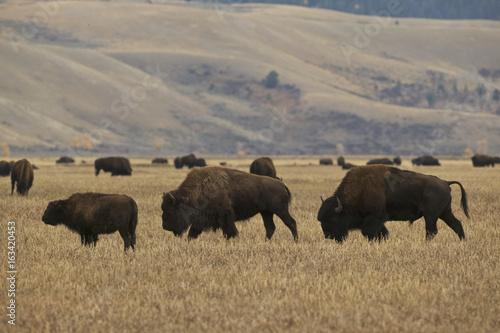 Fotobehang Natuur Park American Bison (Bison bison) Grand Teton & Yellowstone NPs, Wyoming, USA
