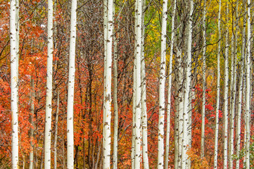 Fototapeta Las Autumn colors in Utah Forest