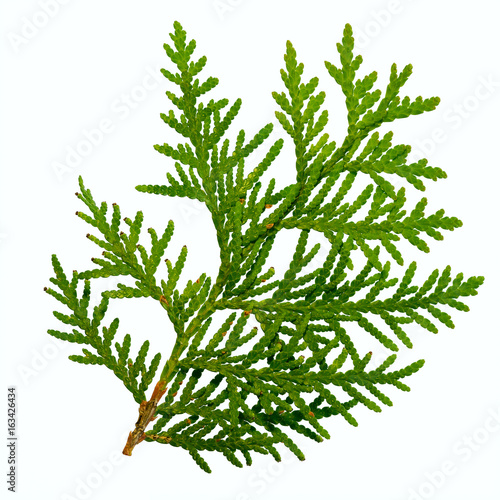 thuja branch isolated on white background Wall mural