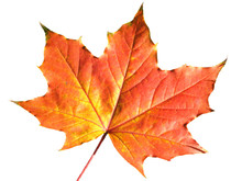 Maple Leaf In Autumn Fall Colo...
