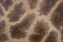 Texture, Pattern  On The Skin Of A Giraffe