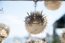 Long-spine Porcupinefish Also Know As Spiny Balloonfish Decoration In A Showcase Of Venice, Italy