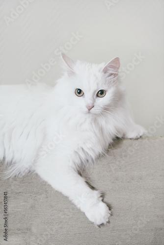 Photo Fluffy cat lying on sofa.