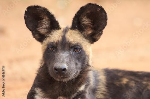 Poster Hyène African Wild Dog