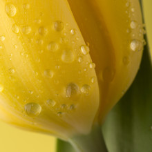 Macro View Of A Beautiful Tulip Flower On Yellow. Spring Background