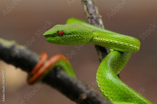 Plakat Zielona jama Żmija niebezpieczny wąż w Tajlandia i Azja Południowo-Wschodnia.