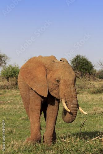 Photo  African Elephant