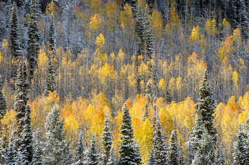 Fototapeta Las Snow on fall colored aspen trees