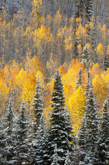 FototapetaSnow on fall colored aspen trees