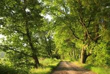 Dirt Road Between The Oak Trees At Dawn