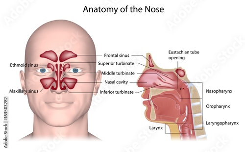 Nose anatomy, labeled. - Buy this stock illustration and explore ...