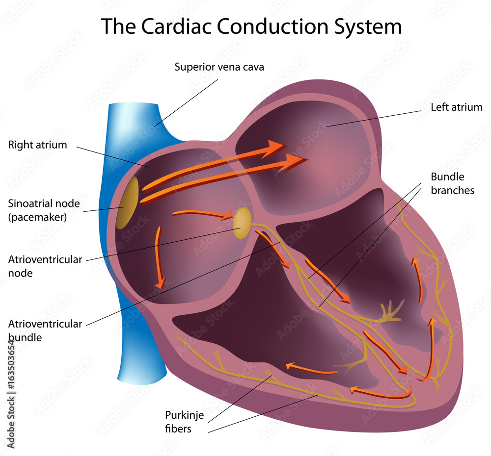 Electrical Pathways Of The Heart Labeled Foto Poster Wandbilder