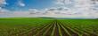 Leinwandbild Motiv lines of young corn shoots on big field