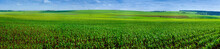 Panoramic Field Of Corn Crops