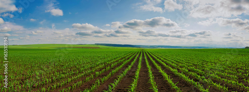 Canvas lines of young corn shoots on big field