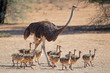 canvas print picture - Female ostrich (Struthio camelus) with chicks, Kalahari desert, South Africa.