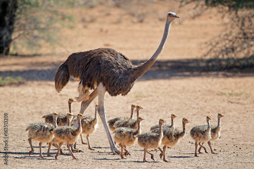 Female ostrich (Struthio camelus) with chicks, Kalahari desert, South Africa.