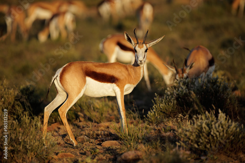 Poster Antilope Springbok antelopes (Antidorcas marsupialis) in natural habitat, South Africa.
