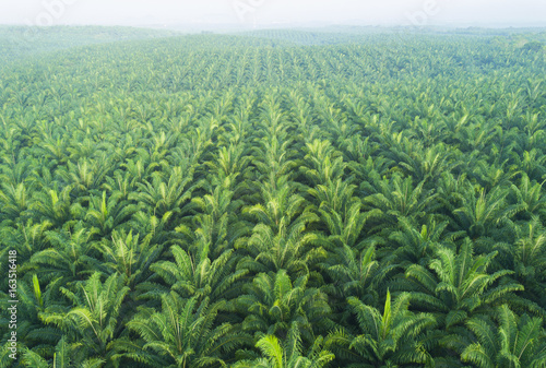 Arial view of palm plantation at east asia Wallpaper Mural