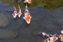 Carps In The Pond