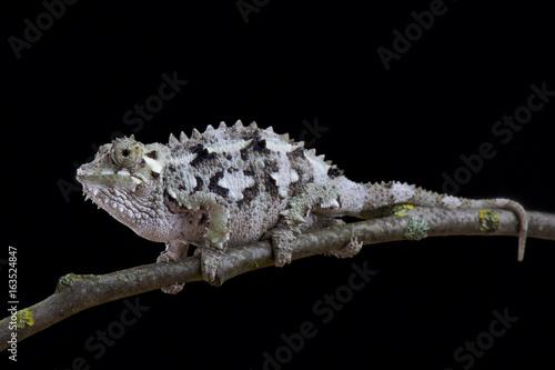 Spiny-flanked Chameleon, Trioceros laterispinis