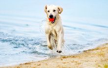 Dog Runs Along The Beach In A ...