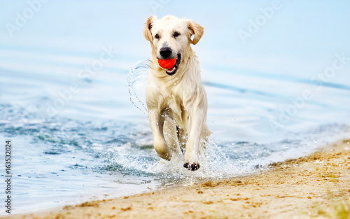 dog runs along the beach in a spray of water