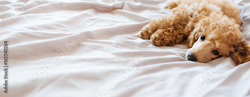 Poster Chien Poodle dog is lying and sleeping in bed, having a siesta.