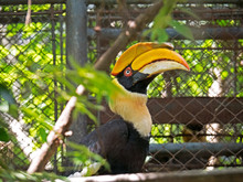 Great Hornbill With Green Leaves Foreground