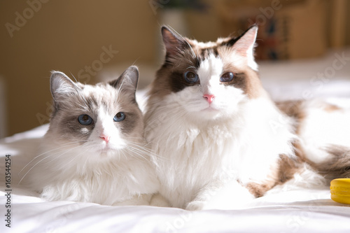 ragdoll on the bed Canvas-taulu
