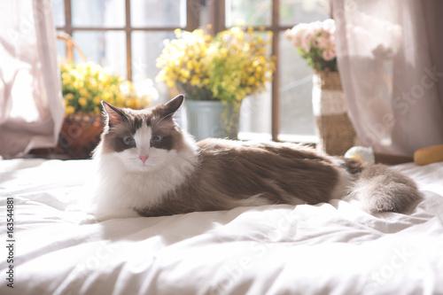 Valokuva ragdoll on the bed