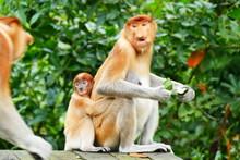Beautiful Monkey Nasalis Larvatus Against A Background Of Tropical Island Jungle