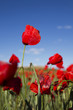 wild red poppies in a windy day
