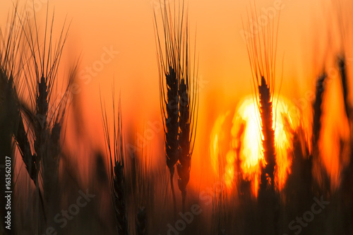 Poster Oranje eclat Ears of wheat on the background of a golden sunset