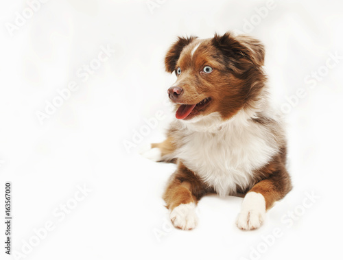 Fototapeta Aussie Puppy obraz na płótnie
