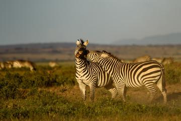 Fototapeta na wymiar zebras interacting