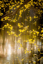 Light Green Leaves By A Lake With Backlight