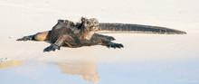 Sunbathing Marine Iguana On Th...