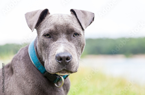 Foto a young pitbull with blue collar portrait