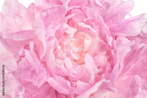 In de dag Bloemen Beautiful peony flower, closeup