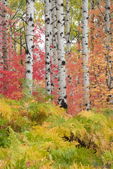 Panel Szklany Podświetlane Brzoza Fall colors in the forest around the Wasatch Mountains of Utah