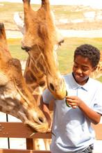 Young Boy Feeding Giraffes At ...