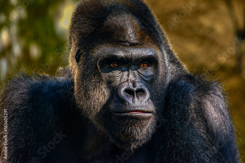Male Silverback Western Lowland gorilla, (Gorilla gorilla gorilla) close-up portrait with vivid details of face, eyes фототапет
