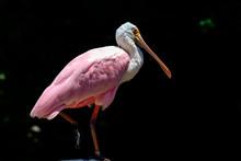 Pink Or Roseate Spoonbill (Platalea Ajaja) With Vivid Pink Feath