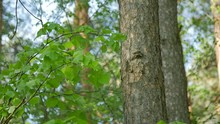 Small Bird Knocks On The Tree Trunk On The Spring Forest. Slow Motion.