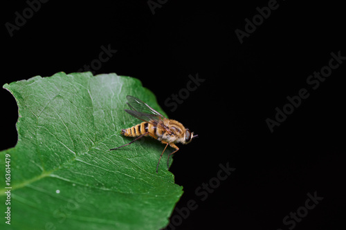 Little Yellow Fly Over Green Leaf Macro
